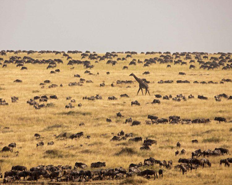 Giraffe inmitten einer riesigen Gnuherde in der weiten Serengeti