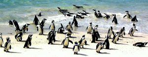 Les manchots ont élu domicile à Boulder Beach, une des belles plages du Cap.