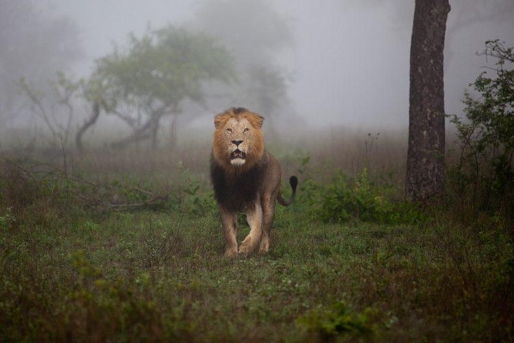 Löwe im Morgendunst im Sabi Sand Game Reserve