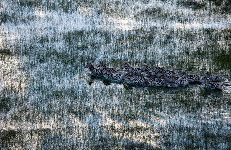 Zebras waten in Botswana durchs Wasser