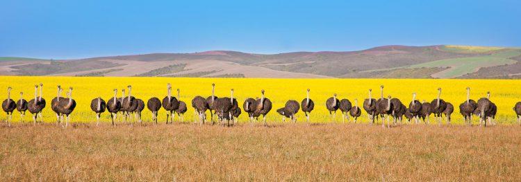 Strauße in einer Reihe vor einem gelben Rapsfeld