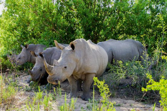 a -crash-of-rhinos-in-south-africa