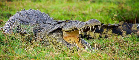 Crocodile-at-Chobe