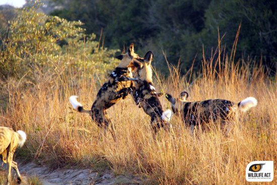 African Wild dogs rough play