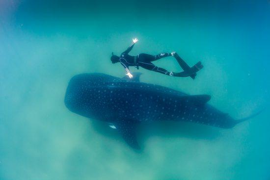 Walhai mit Kalb