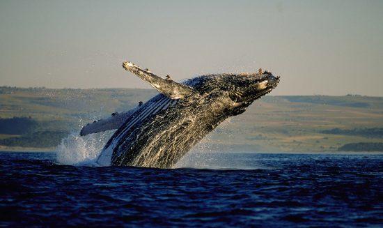 Whale watching in Hermanus - Walsaison in Südafrika