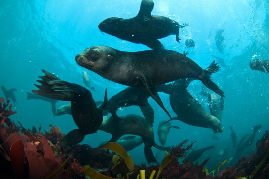 Swimming with the seals near Cape Town