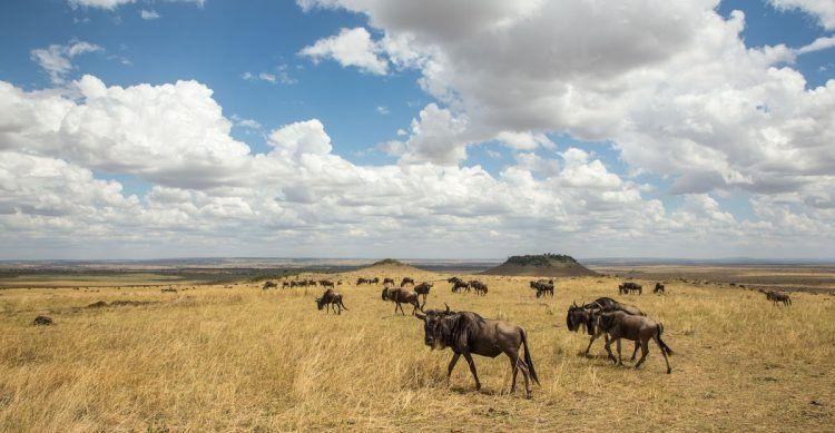 Gnus atravessam Serengeti