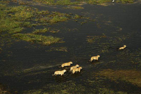 Leoassaindo à caça durante a estação verde no Botsuana