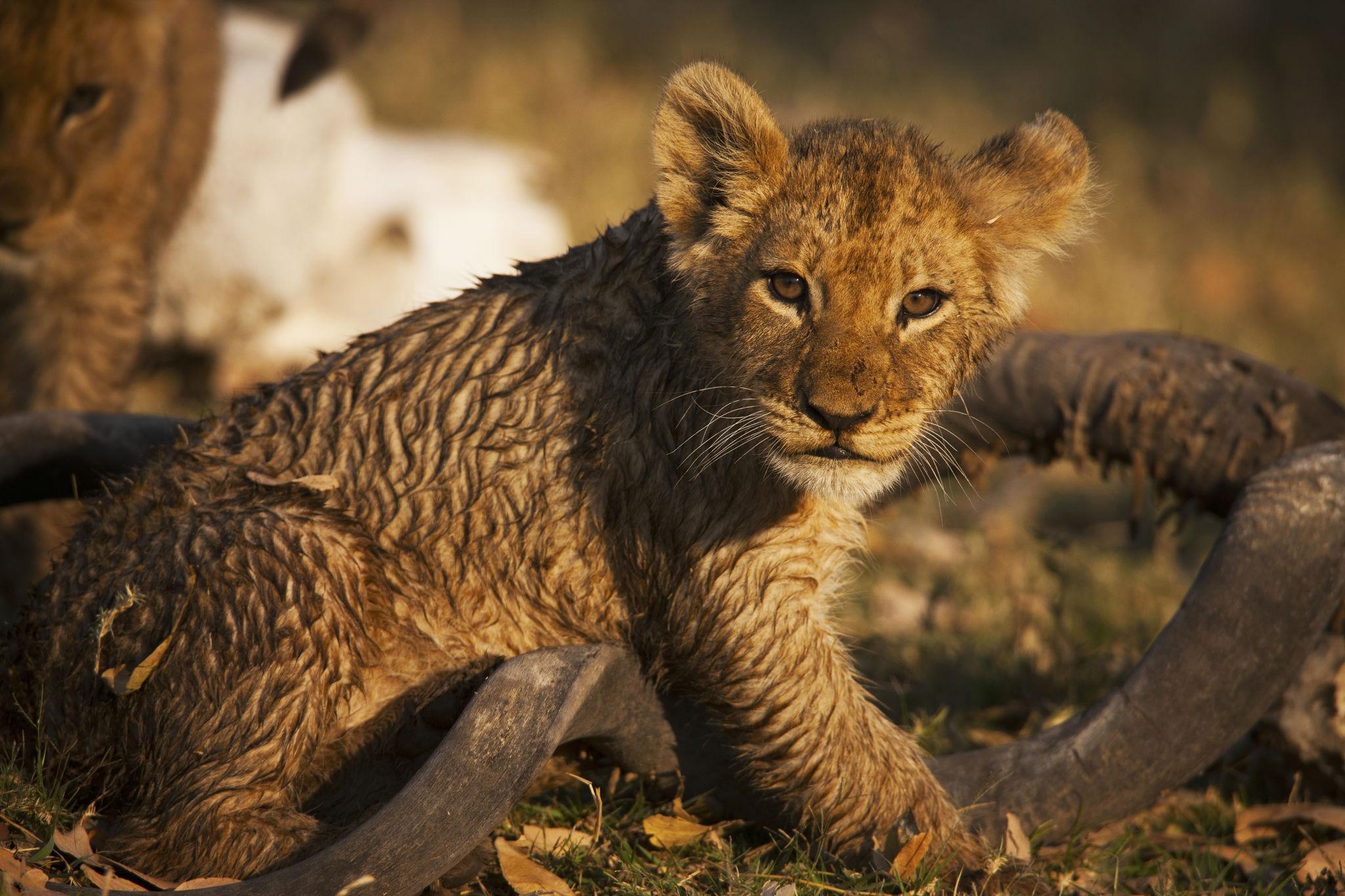 zarafa-camp-wildlife-lions-03