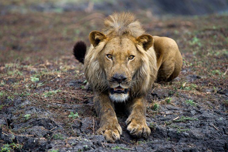 Nahaufnahme eines Löwen