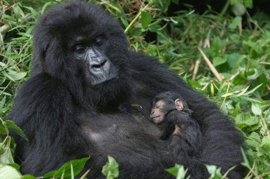 Mother gorilla with tiny baby