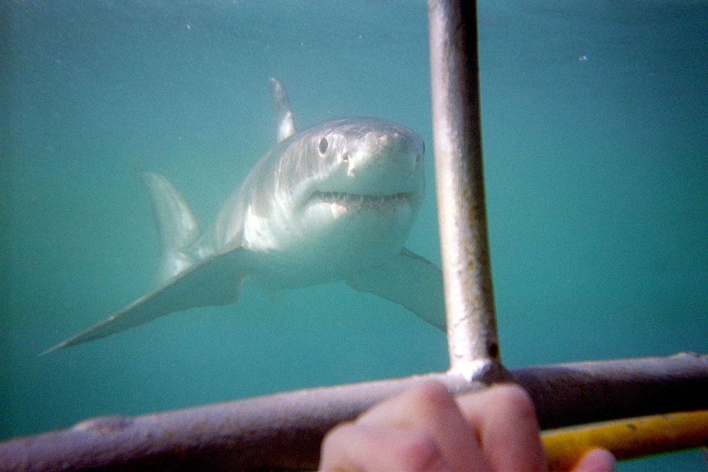 Cage diving with a great white shark in South Africa
