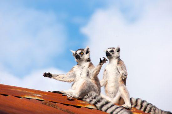 Meditating lemurs on a roof