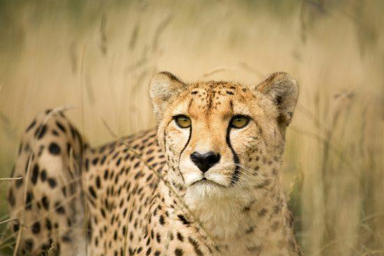 cheetah between grass