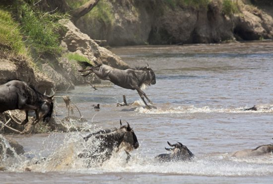 Wildebeest make several dangerous river crossings during the migration