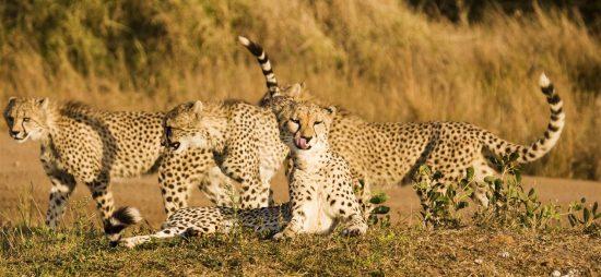Three young cheetahs strolling in the savannah