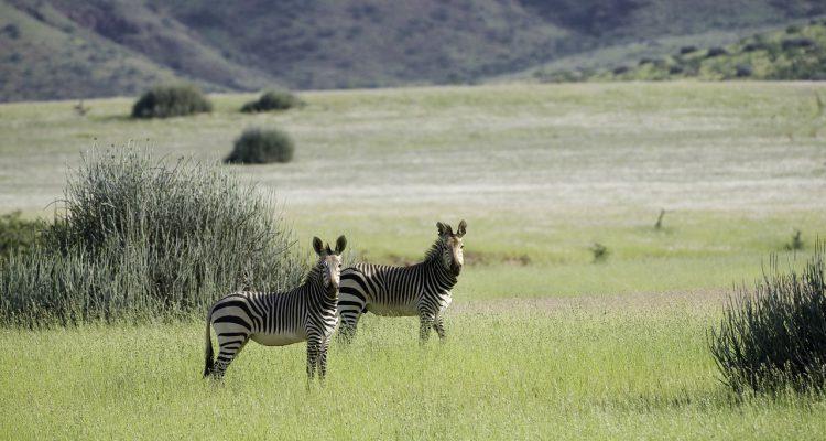 Zebras in der Prärie des Damaralandes