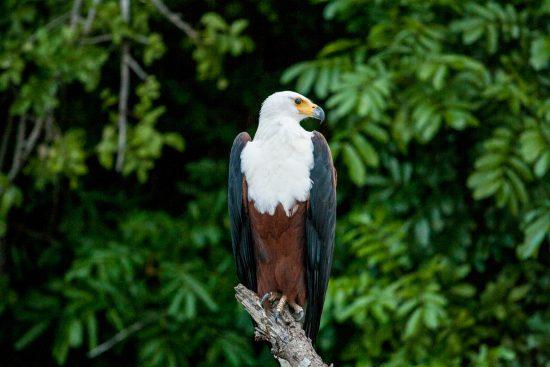 A fish eagle in malawi