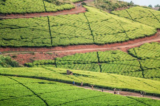 Tea plantations in Malawi
