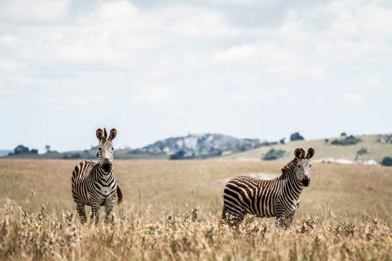Two zebras in Malawi