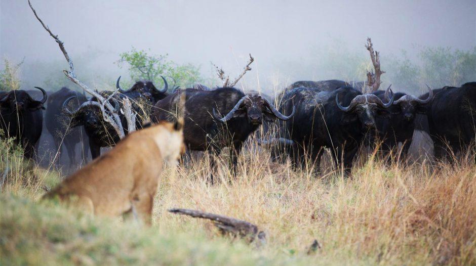 Eine Löwin in Botswana beobachtet eine Herde von Büffeln