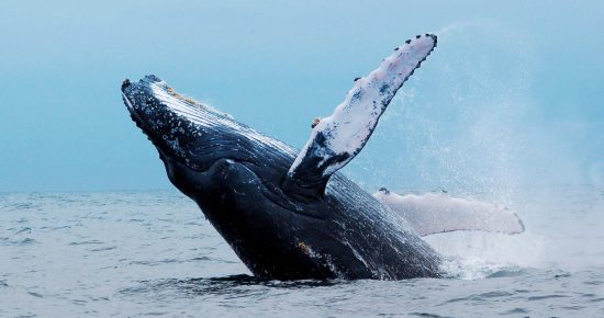 Unglaubliche Walbeobachtung in Hermanus nahe der Garden Route: Wal springt aus dem Wasser