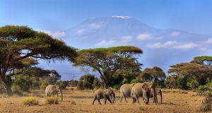 Elefanten vor dem mächtigen Kilimanjaro