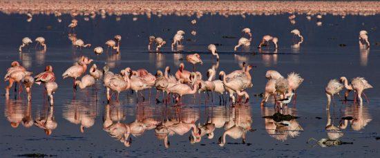 Flamingos se reúnem no Lago Nakuru, Quênia