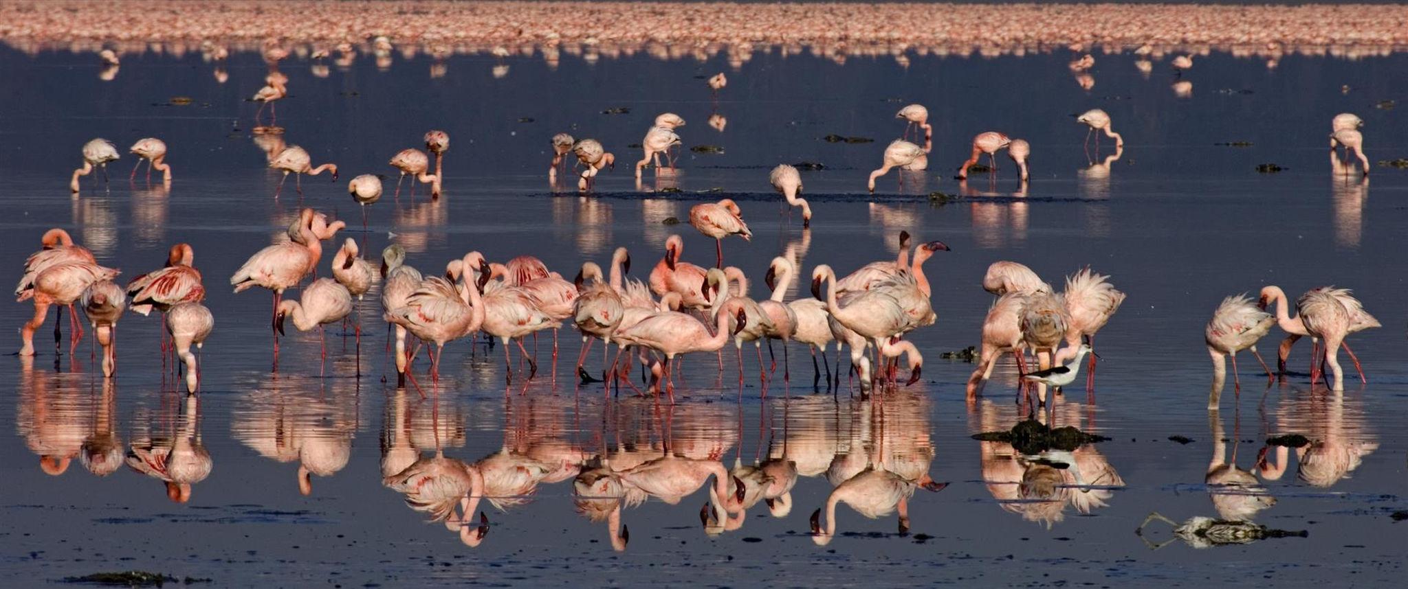 Flamingos Lake Nakuru Kenia