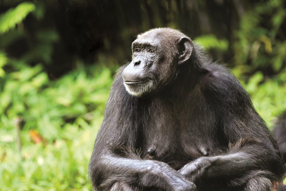 Chimpanzee in the wild of Nyungwe Forest National Park in Rwanda