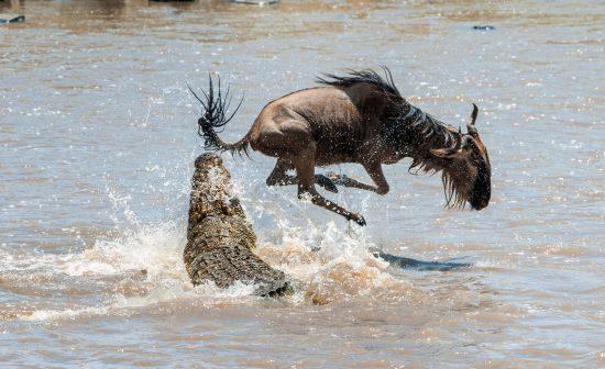 crocodile attacking wildebeest