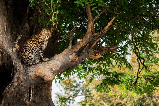 A beautiful leopard in a tree