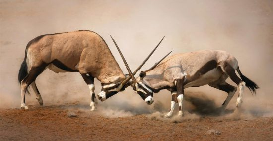 Gemsbok fighting with their horns in Etosha, Namibia