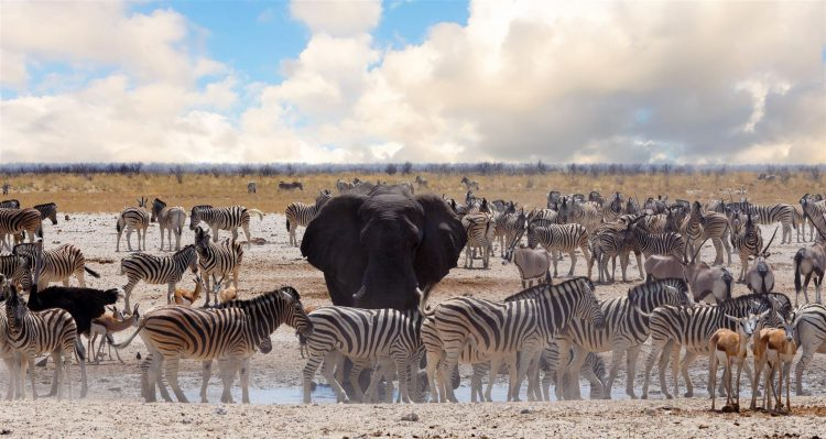 Elefanten und Zebras im Etosha Nationalpark in Namibia