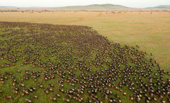 Milhares de gnus migrando no Quênia