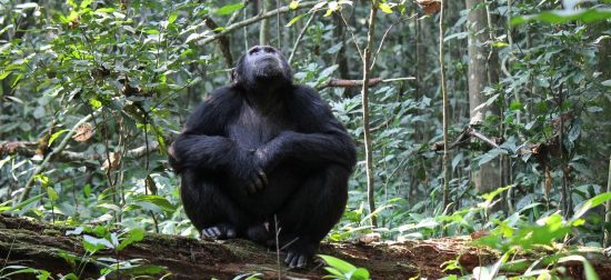 Chimpanzee looking up in Kibale forest