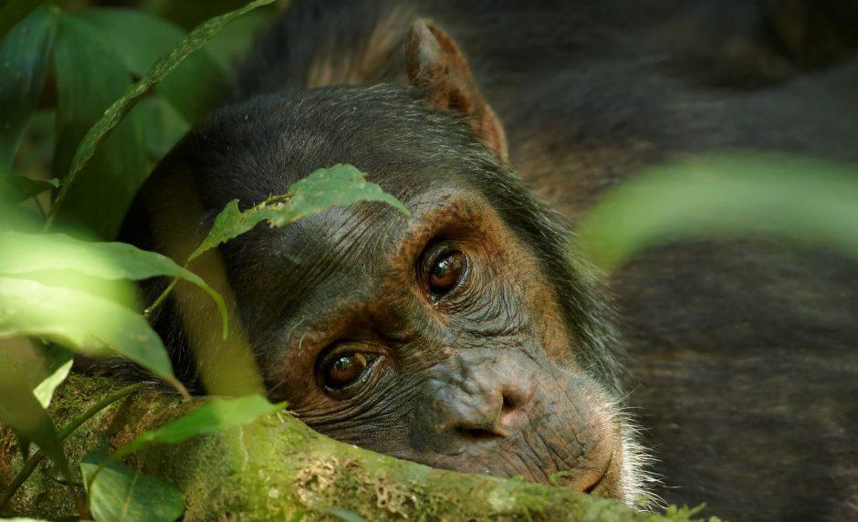 Nahaufnahme eines verträumten Schimpansen in Ruanda