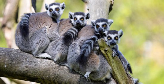 A lemur family in a huddle
