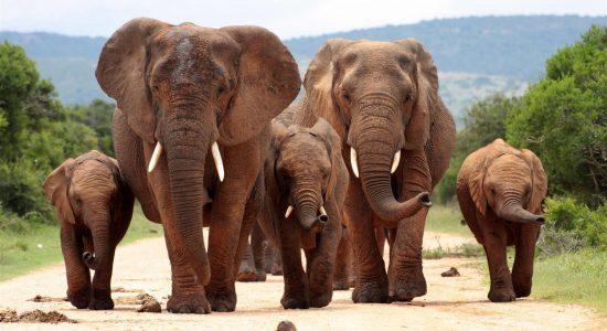 Eine Herde Elefanten marschiert auf einer Straße zwischen grünen Büschen