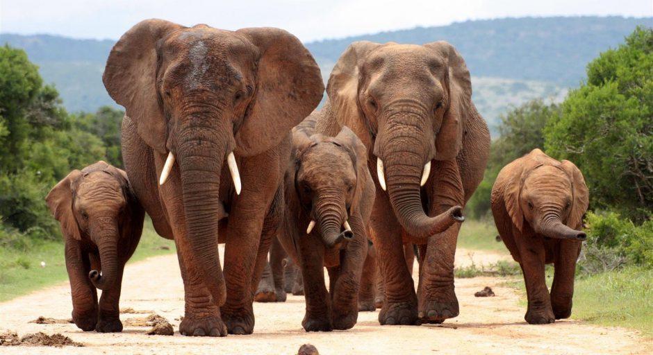 Eine Elefantenfamilie geht einen sandigen Weg im Addo Elephant Park entlang