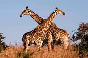 animaux d'afrique : girafes