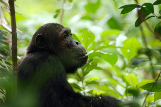 A chimpanzee in a forest