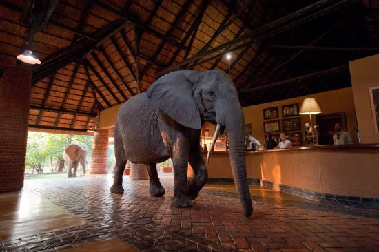 An elephant walks into reception