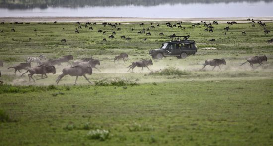 Wildebeest running across the Serengeti plains, past a 4x4 vehicle