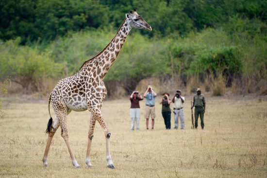 A walking safari group watching a giraffe