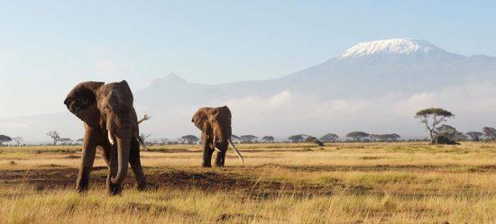 Des éléphants aux pieds du Kilimandjaro en Tanzanie