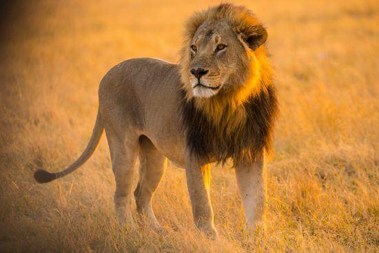 El león es uno de los cinco grandes del safari