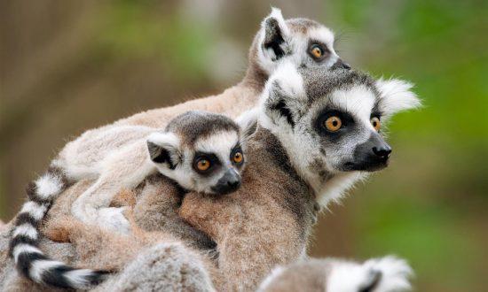 Mutterlemur und auf ihr zwei Babylemuren
