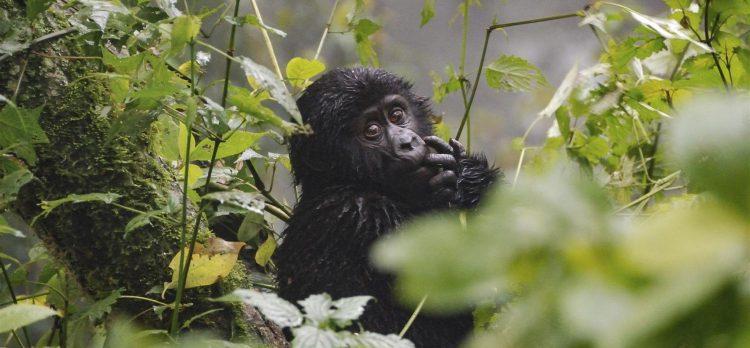 Gorillas in Bwindi impenetrable forest